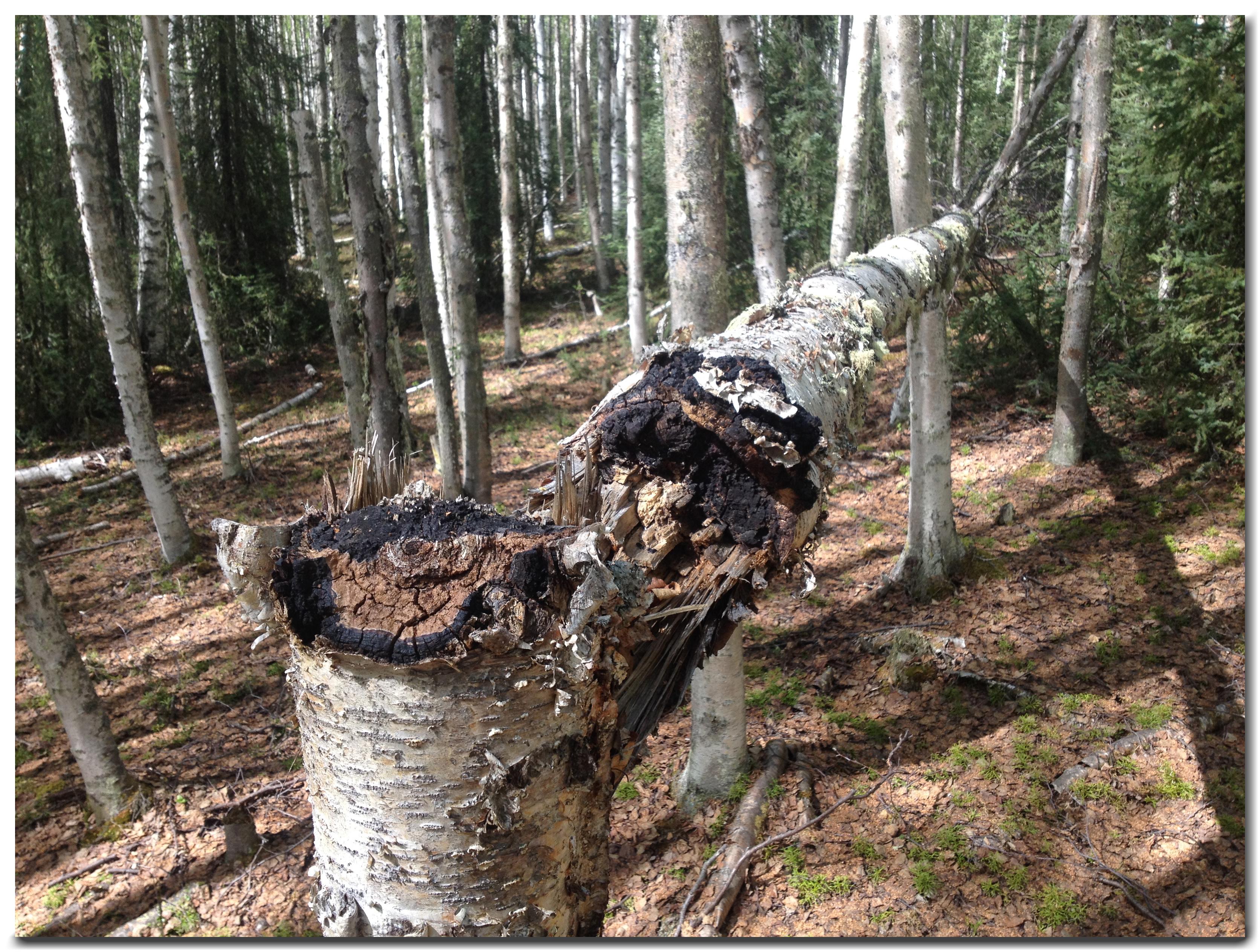 Wild Alaska Chaga Fallen Birch Tree