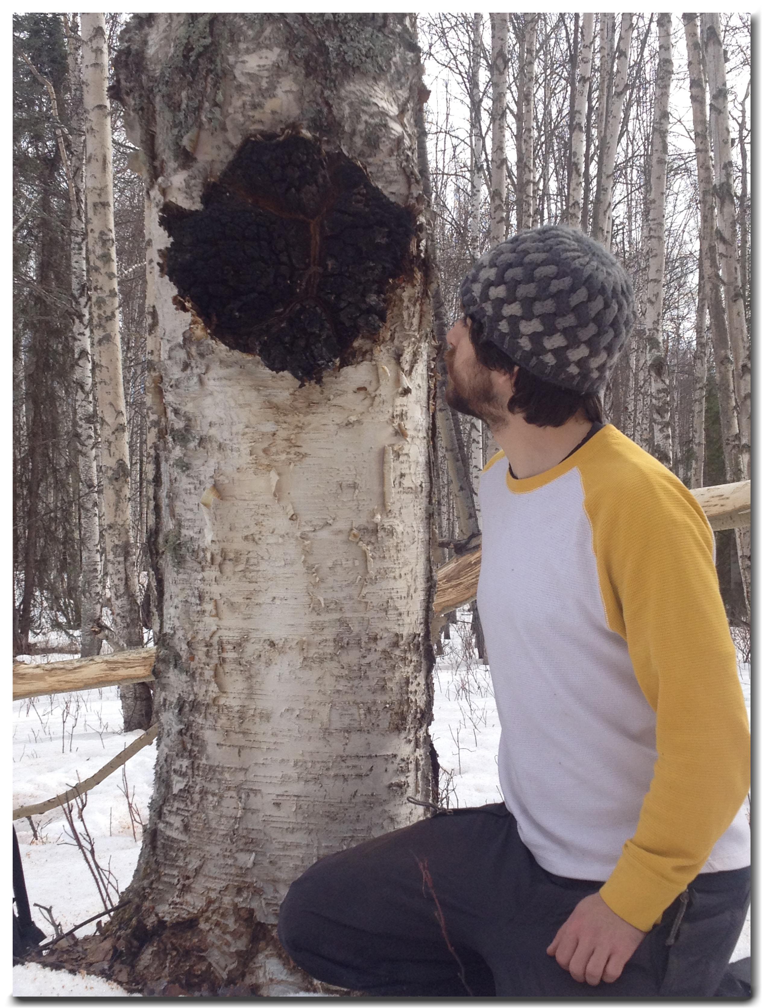 Wild Alaska Chaga Mushroom Harvest