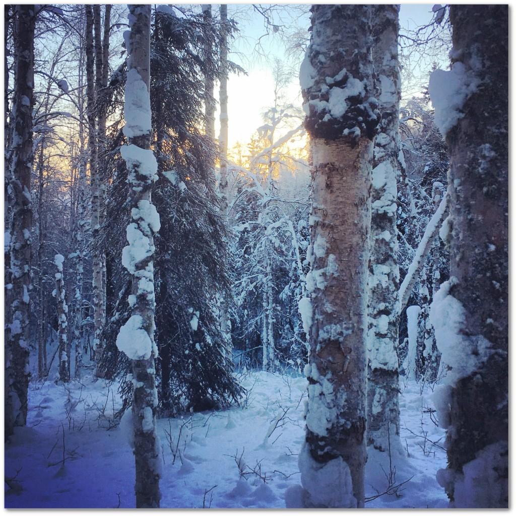 Wild Alaska Chaga Environment