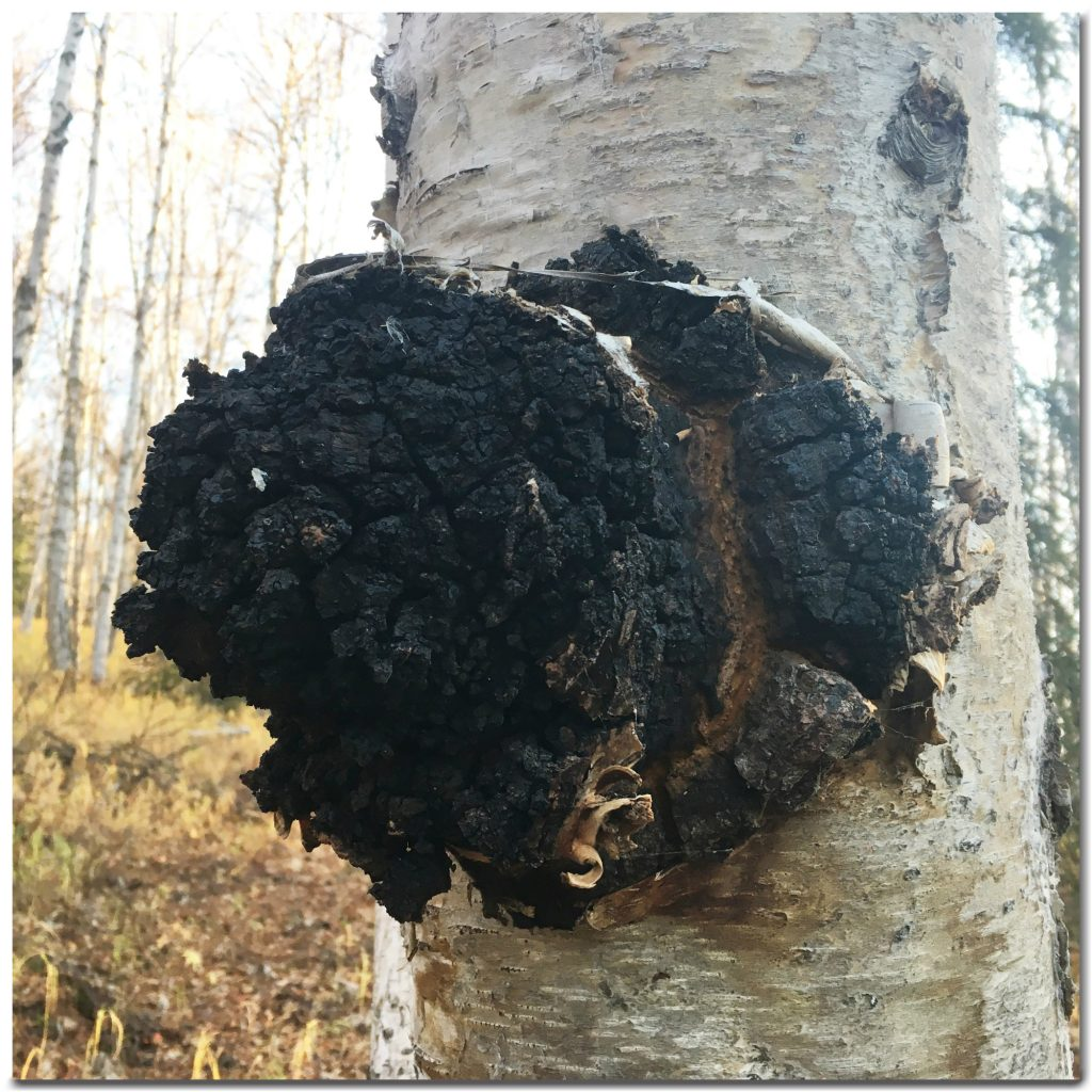 Wild Alaskan Chaga Ingredients
